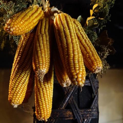hangin-corn